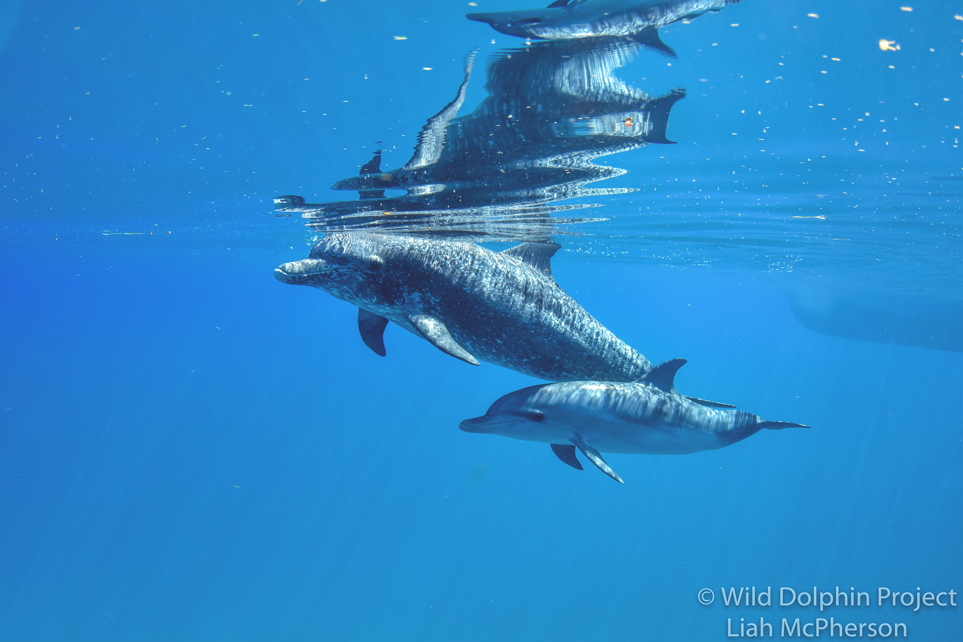 two Atlantic spotted dolphins swim underwater