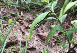 A yellow-and-white striped Monarch butterfly caterpillar munches on the leaves of a milkweed plant at the UNC-Chapel Hill North Carolina Botanical Garden.