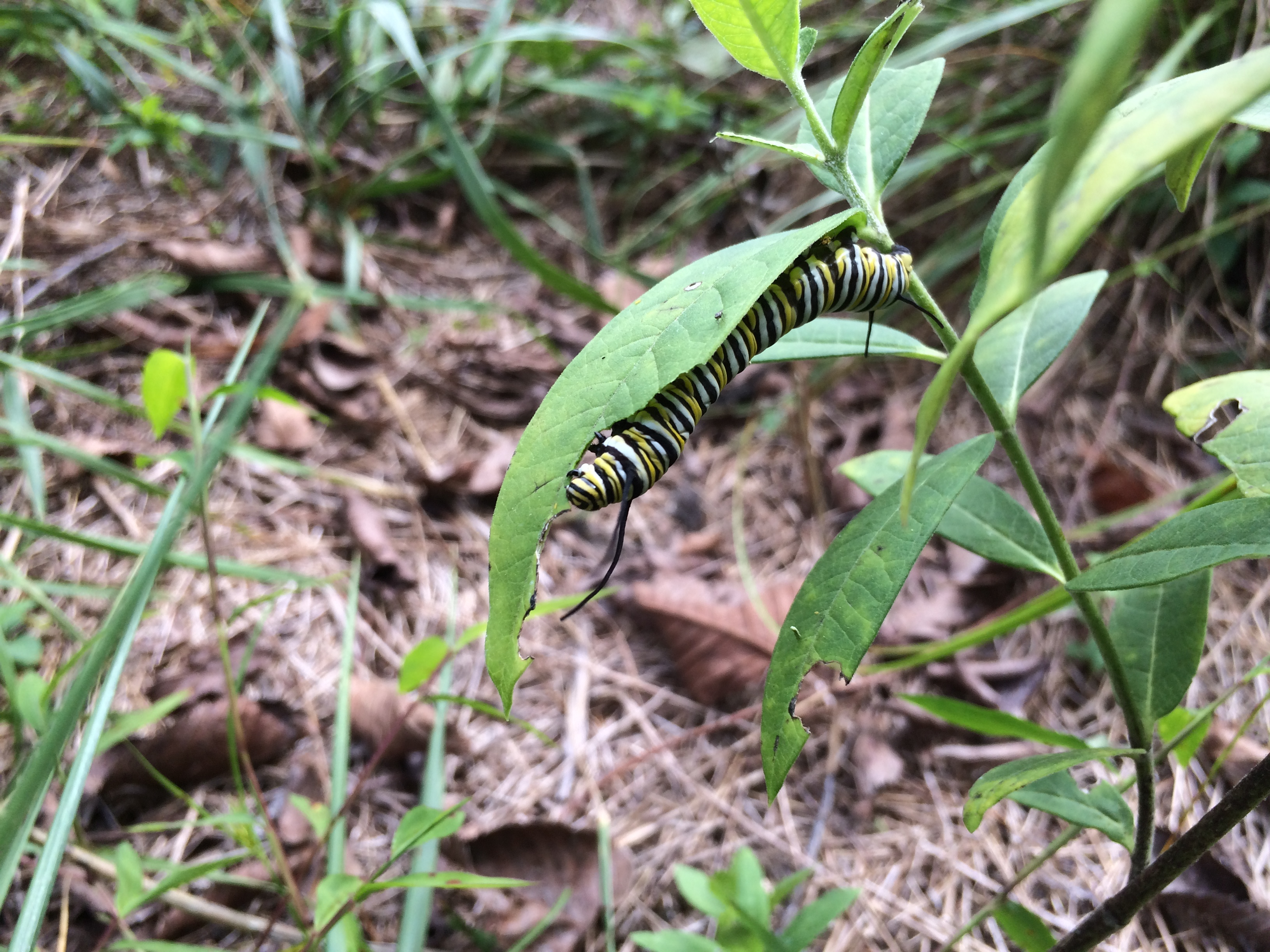 A yellow-and-white striped Monarch butterfly caterpillar munches on the leaves of a milkweed plant