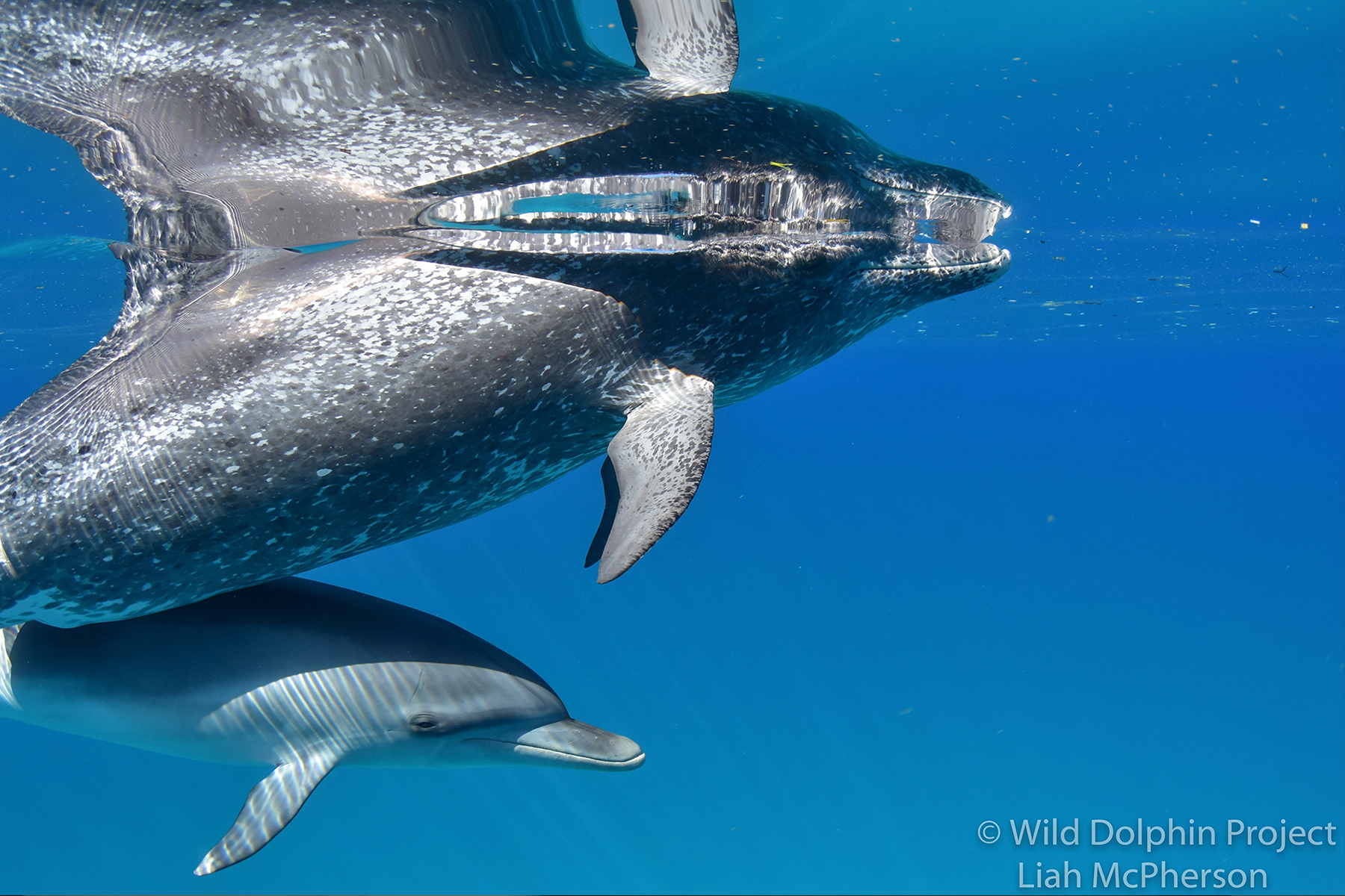 two dolphins, one spotted