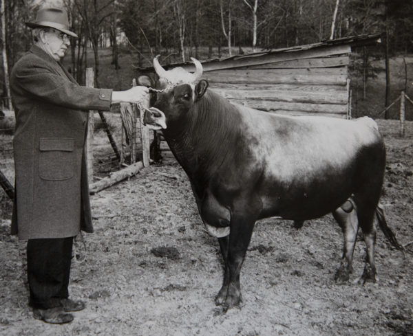 Howard Odum with one of his bulls