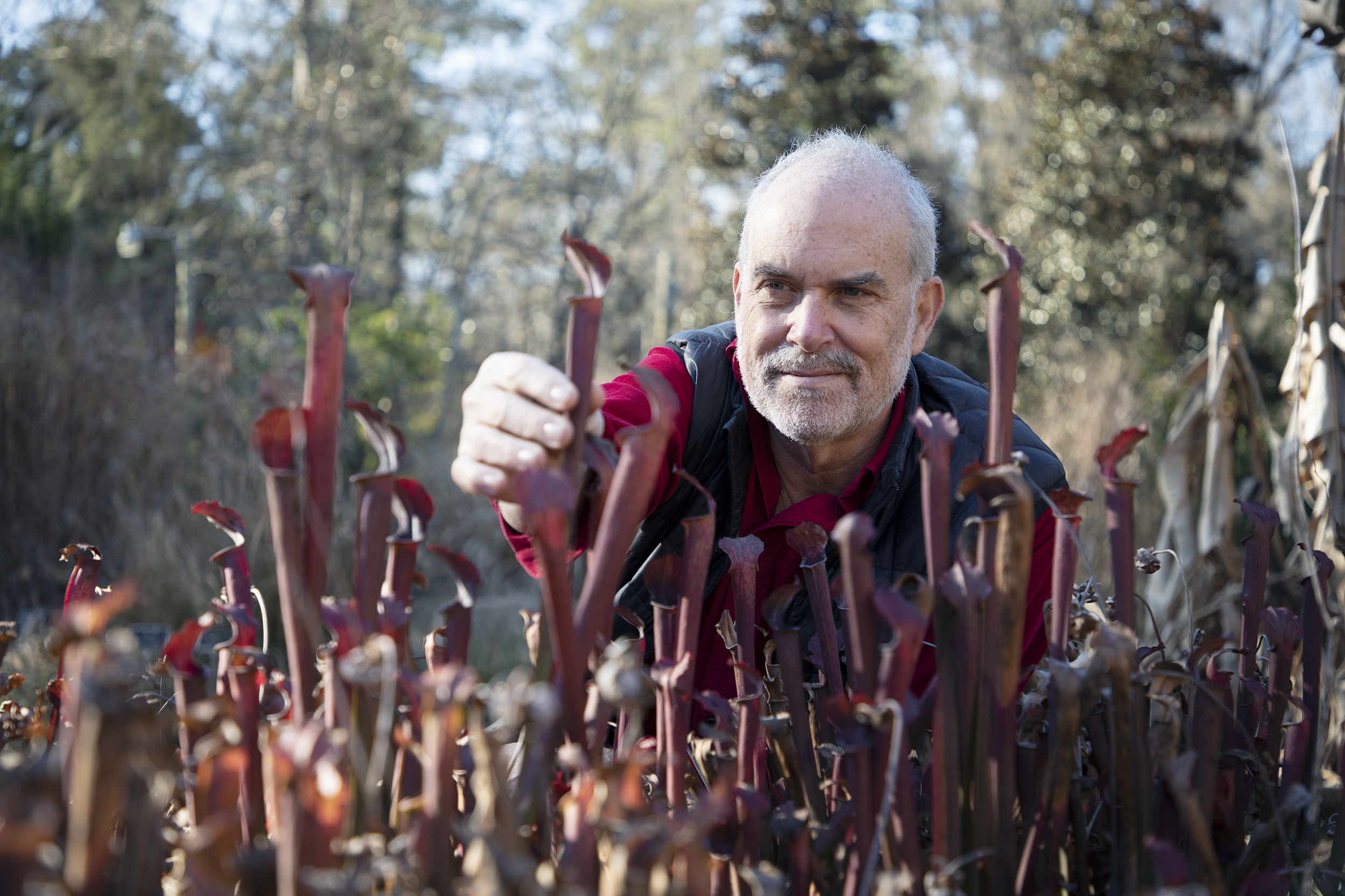 Alan Weakley reaches for a pitcher plant