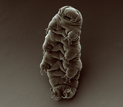 A scanning electron micrograph of an adult tardigrade