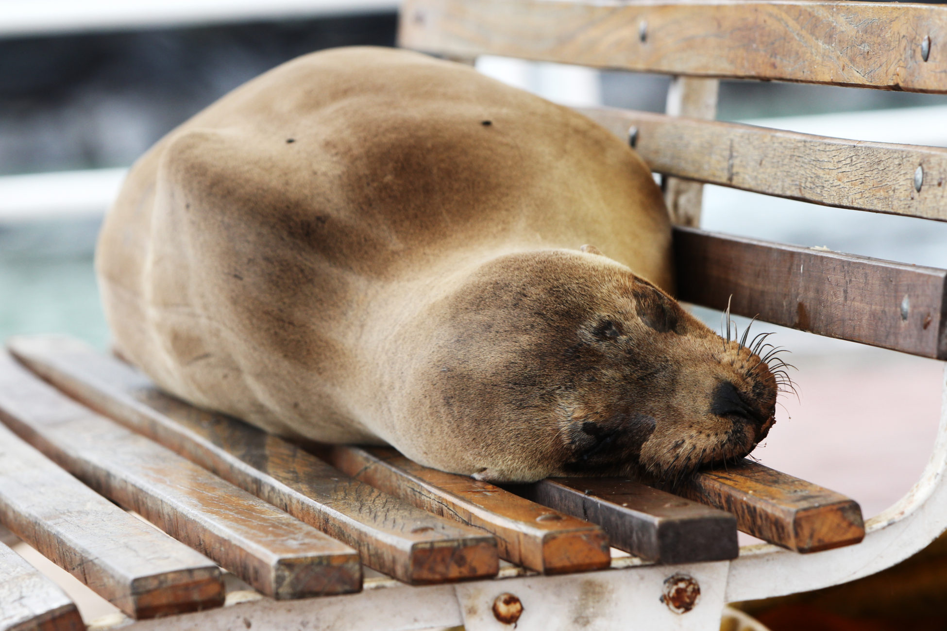 A Galápagos sea lion sleeps on a park bench at the Malecon of Puerto Ayora on the island of Santa Cruz.