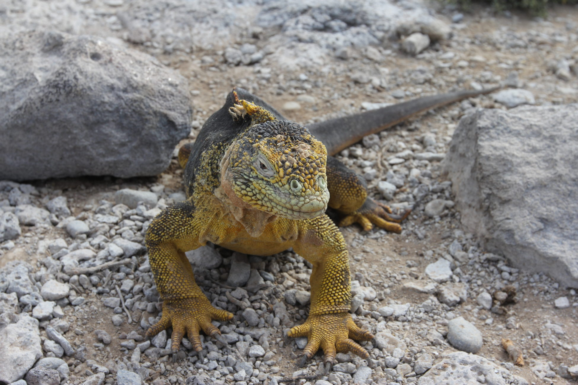 Portrait of a Galápagos land iguana