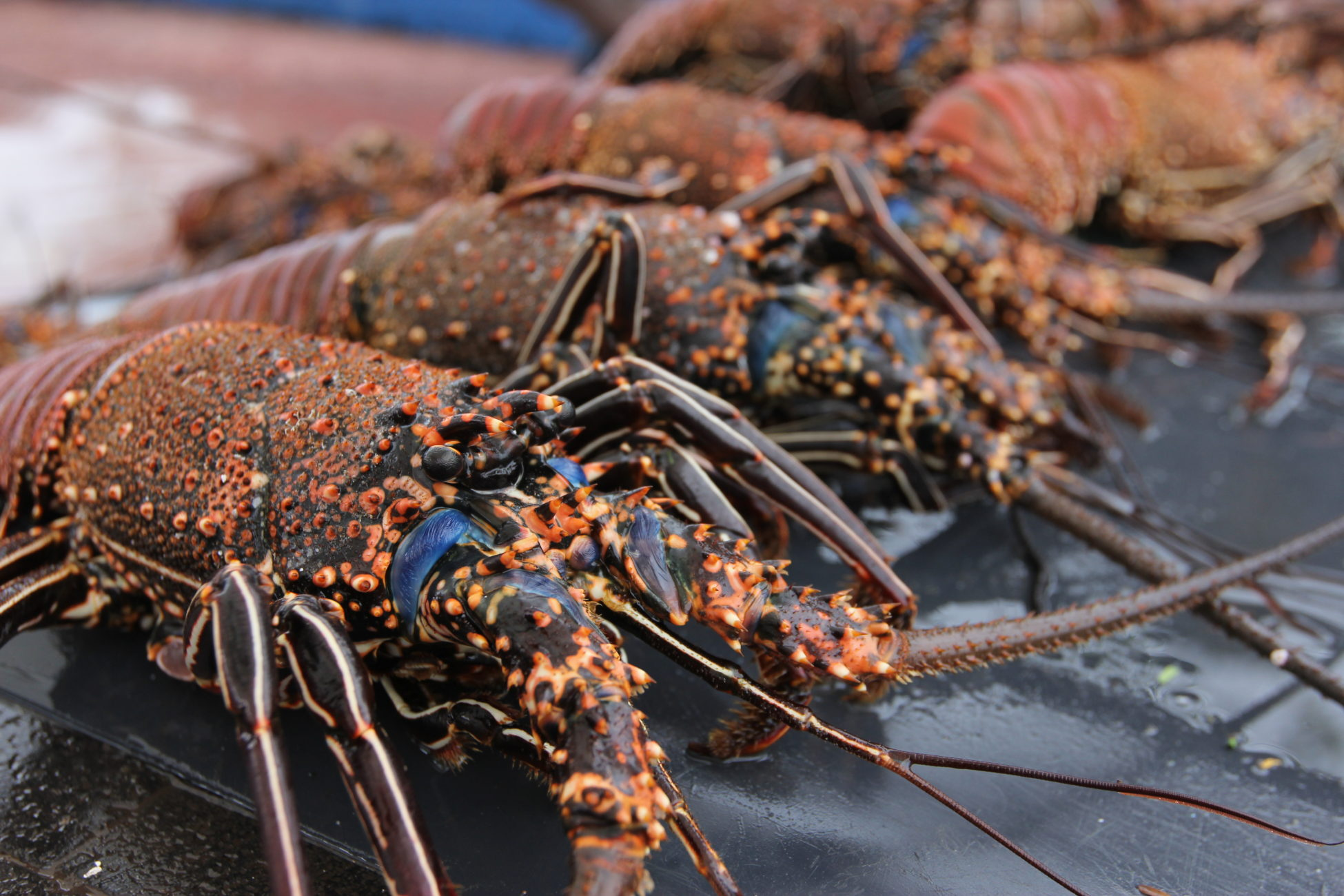 Close-up picture of a live spiny lobster