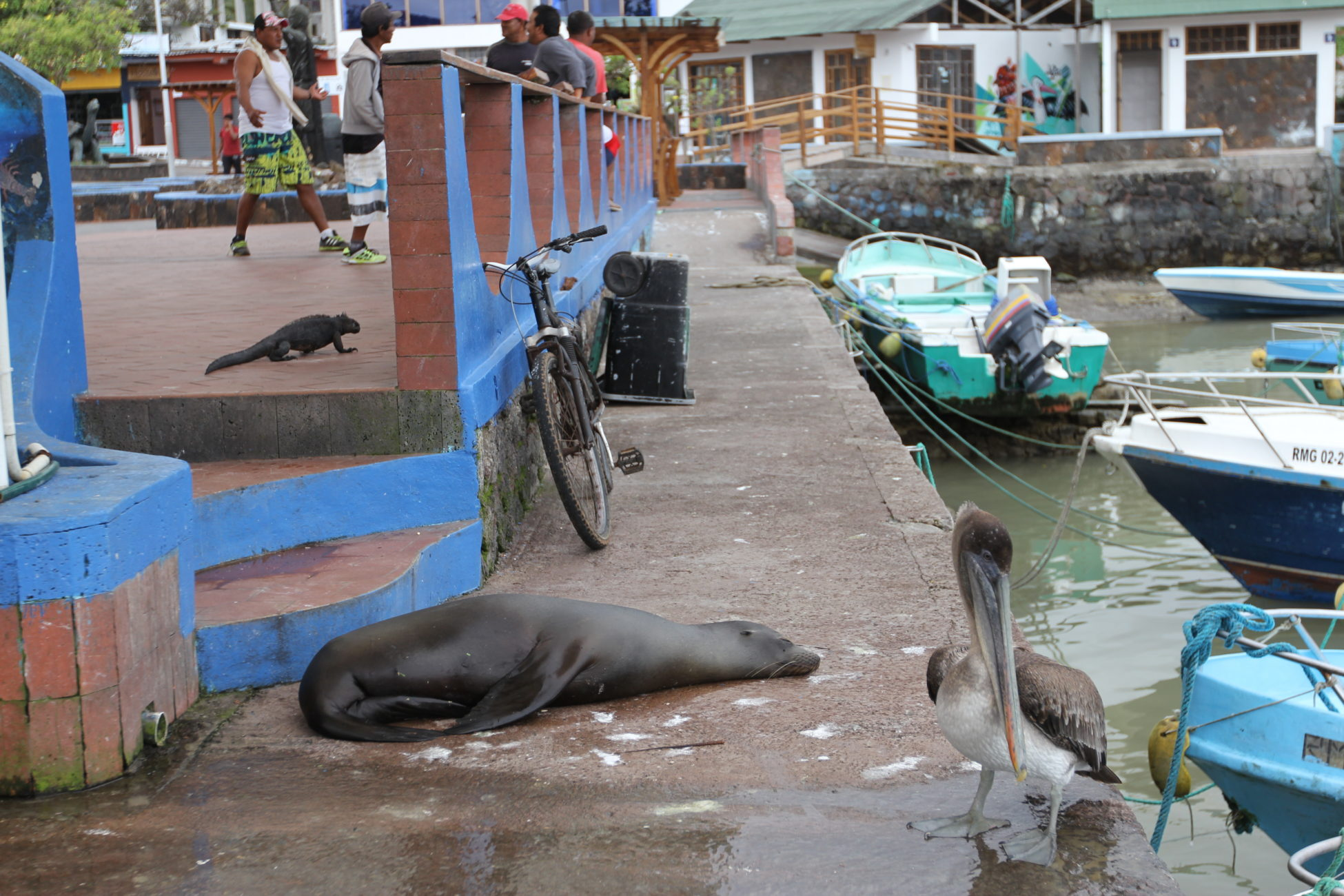 Picture of a marine iguana, blue pelican, and a Galápagos sea lion on the docks of on inlet on the Galápagos islands.