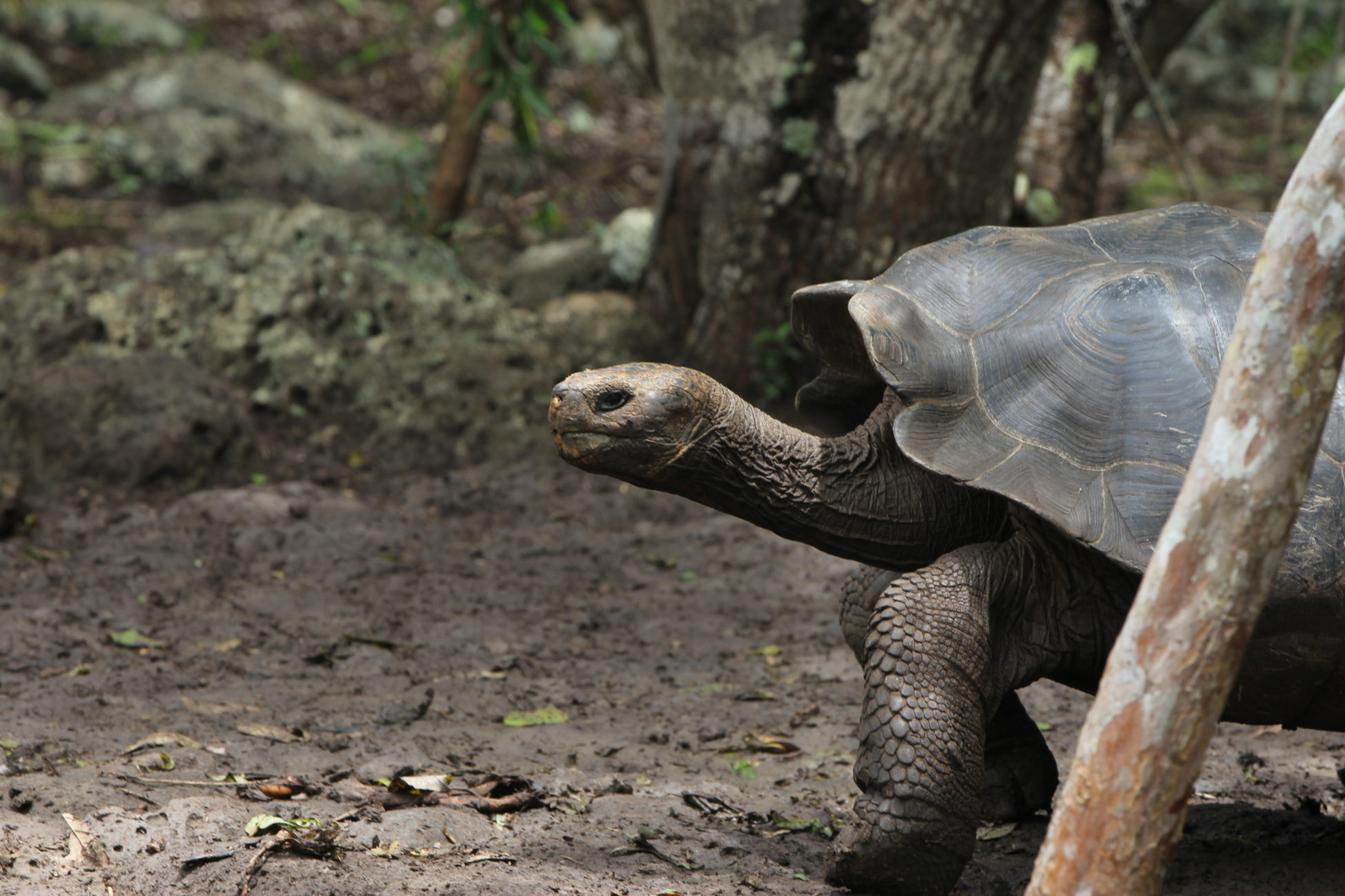 A Galápagos giant tortoise strolls through the forest