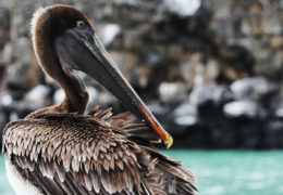 A pelican rests, overlooking the Malecon near Academy Bay
