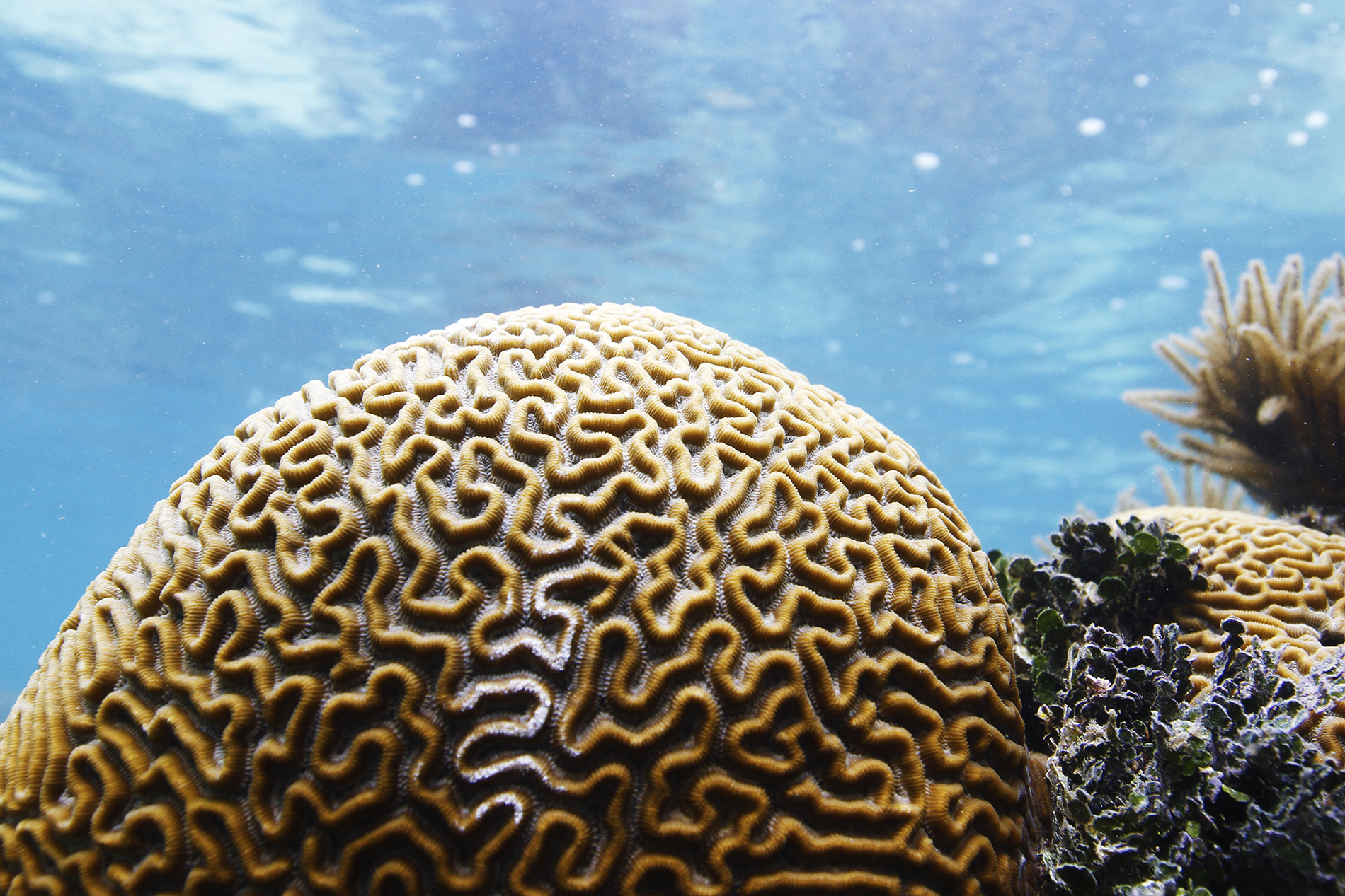 a large symmetrical brain coral in shallow waters off the coast of Placencia, Belize