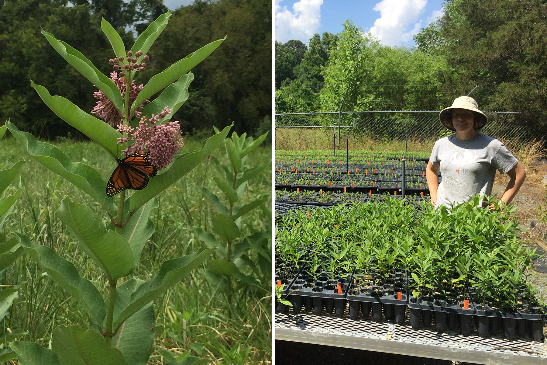 Left image: A monarch butterfly rests on a milkweed plant. Right image: Amanda Faucette stands in a growing garden of milkweed