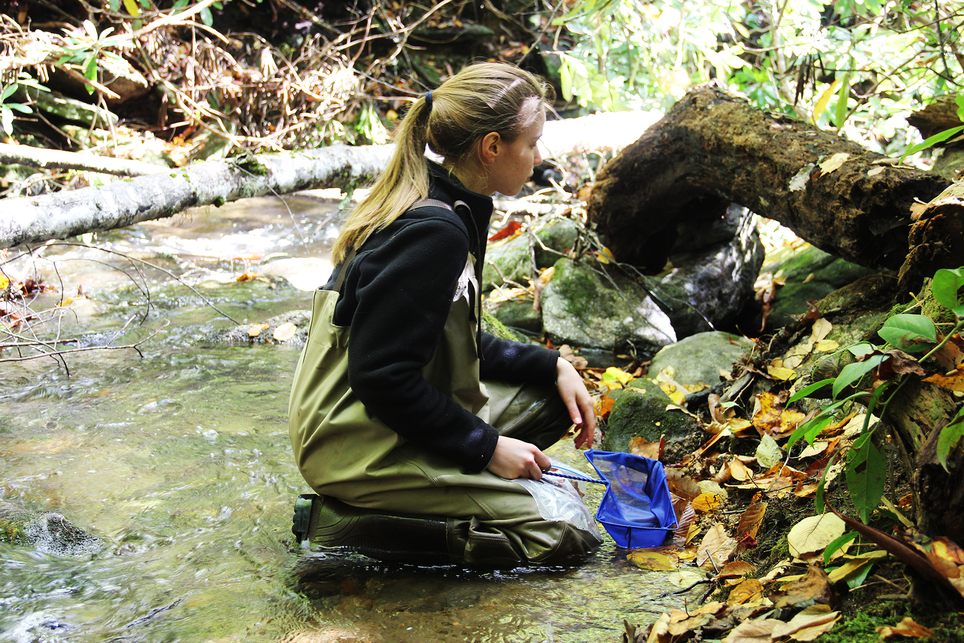 a female college student wearing waders kneels in a stream, a blue salamander net in hand, and looks for salamanders
