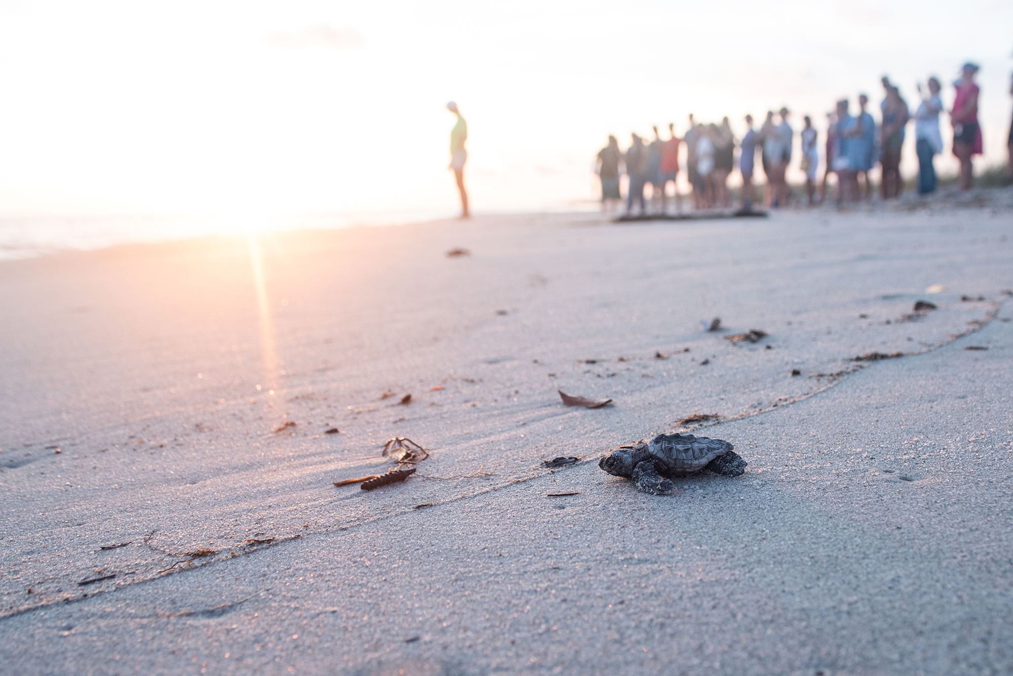 a baby loggerhead sea turtle makes it way to the ocean as onlookers watch in the background