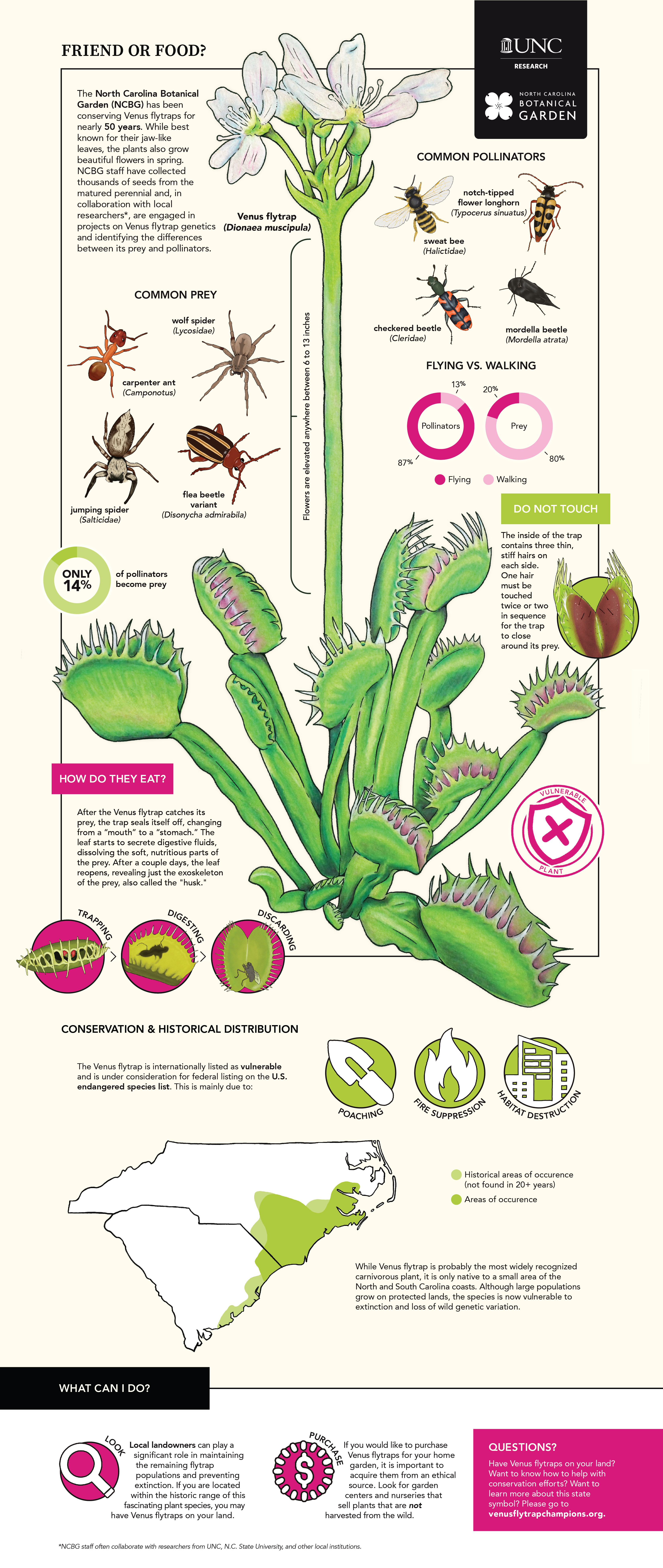 """Infographic based around the Venus flytrap. Title reads """"Friend or Food?"""" with a brief description of """"The North Carolina Botanical Garden (NCBG) has been conserving Venus flytraps for nearly 50 years. While best known for their jaw-like leaves, the plants also grow beautiful flowers in spring. NCBG staff have collected thousands of seeds from the matured perennial and, in collaboration with local researchers*, are engaged in projects on Venus flytrap genetics and identifying the differences between its prey and pollinators."""" There is a large drawing of the Venus flytrap, labeled by its scientific name """"Dionaea muscipula."""" Under the section of Common prey, you can find drawings of a carpenter ant (also known as a camponotus), a wolf spider (also known as a lycosidae), a jumping spider (also known as a salticidae), and a flea beetle variant (known as a disonycha admirabila). Under the section Common pollinators, you can find drawings of a sweat bee (also known as a halictidae), a notch-tipped flower longhorn (also known as a typocerus sinuatus), a checkered beetle (also known as a cleridae), and a mordella beetle (also known as a mordella atrata). Below that, you can find a set of pie charts, showing the difference between flying and walking pollinators and prey. Of pollinators, 87% of them are flying, and of prey, only 20% of them fly. Also found is a pie chart that says """"Only 14% of pollinators become prey.) Also found is a label on the stem of the flower, saying """"Flowers are elevated anywhere between 6 to 13 inches."""" A section labeled """"Do not touch"""" reads """"The inside of the trap contains three thin, stiff hairs on each side. One hair must be touched twice or two in sequence for the trap to close around its prey."""" There is a drawing of the Venus flytrap leaf open, showing the three hairs. A stamp of a shield with an """"X"""" through it reads """"vulnerable plant."""" Section labeled """"How do they eat?"""" says After the Venus flytrap catches its prey, the trap seals itself off, c"""