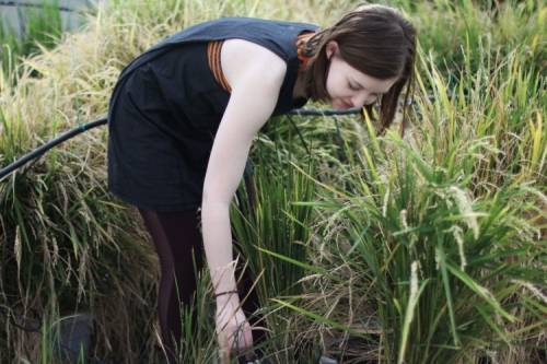 Photo by Alyssa LaFaro Emily checks on the growth of the rice plants she's studying in the Kieber Lab.