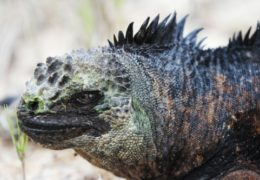 Marine iguana populations in the Galápagos Islands decrease during El Niño events. The oceanographic climate phenomenon brings warmer waters to the islands, causing the the marine food supply to diminish. UNC researchers are looking at the productivity levels of Galápagos waters to learn more about the severity of this year's El Niño.
