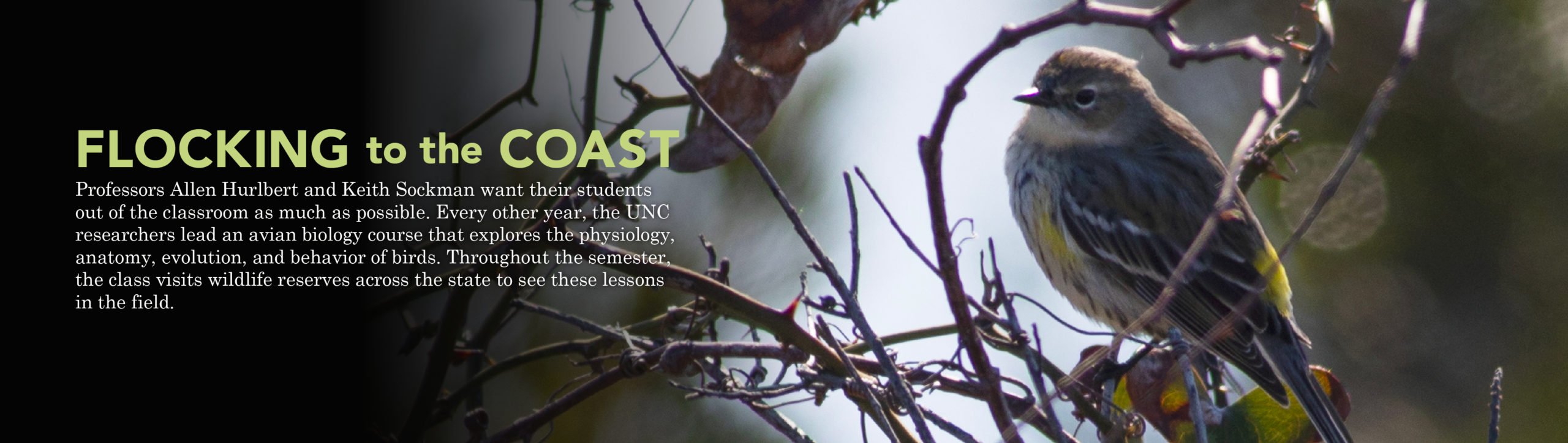 Banner with a bird perched on a tree. Banner states: Flocking the Coast. Professors Allen Hurlbert and Keith Sockman want their students out of the classroom as much as possible. Every other year, the two UNC researchers lead an avian biology course that explores the physiology, anatomy, evolution, and behavior of birds. Throughout the semester, the class visits places like Mason Farm Biological Reserve, Morehead City, Beaufort, and the Outer Banks to see these lessons in the field.