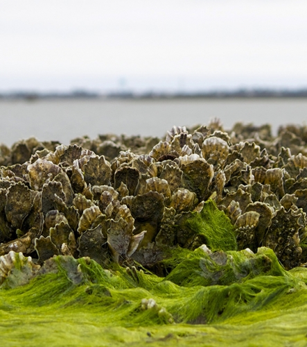 Close up photo of an oyster reef off the coast of North Carolina.