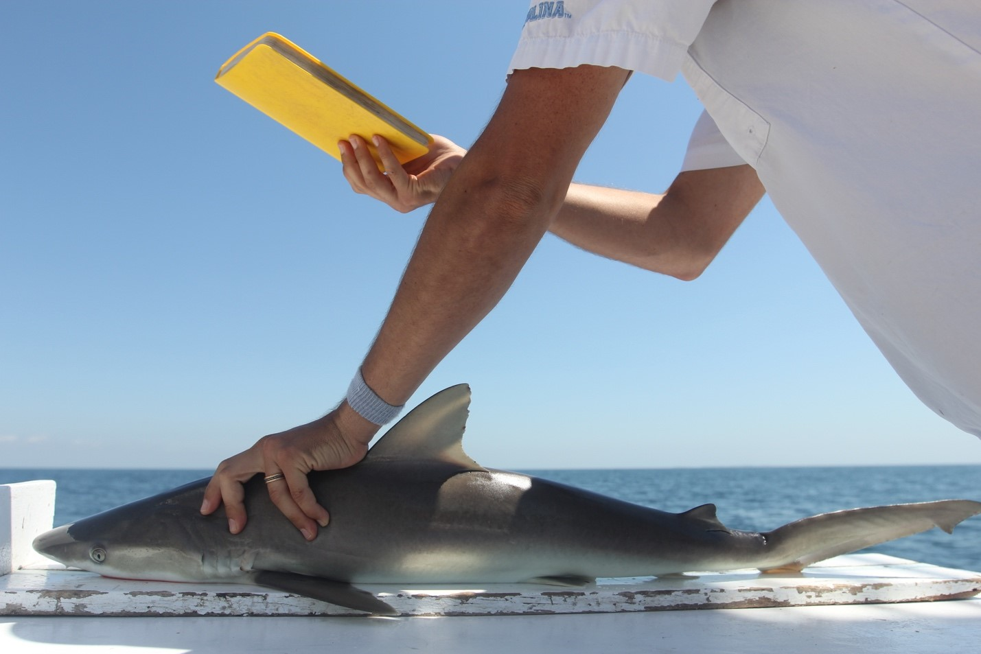 mand holds a shark and measures its length