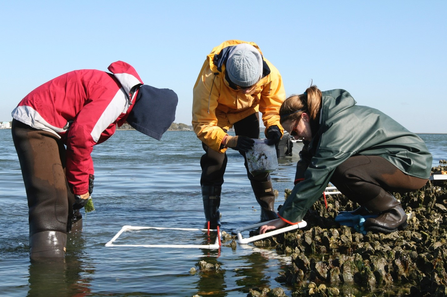 three scientists wearing waders stand in ankle-deep water and conduct oyster research