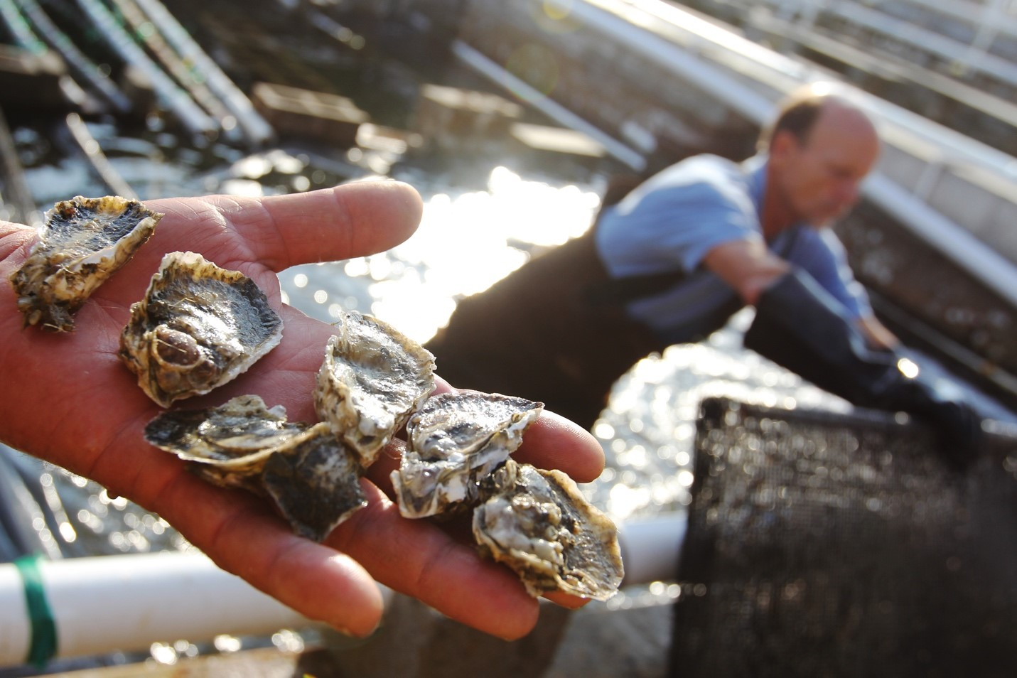 close-up of a fisherman's hand holding six fresh oysters