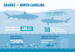 Infographic: Some Research notes on the Sharks of North Carolina by the University of North Carolina-Chapel Hill. The blacknose and Atlantic sharpenose are some of the most common shark species observed by UNC Researchers. Blacknose shark averages 8.3 feet and the Atlantic sharpnose shark averages 2.4 feet. Sharks have been on Earth over 400 million year. 50 different shark species can be found in North Carolina waters. Large sharks in North Carolina are down by 50% since the 1970s. Commercial and recreational fishing have contributed to decreasing shark populations. In the past 45 years, UNC has surveyed approximately 7,000 sharks; the average shark studies is 3 feet long. The UNC institute of Marine Sciences has studies sharks in North Carolina waters since 1972, making it the longest running shark research program in the nation. To learn more about shark research in North Carolina, visit imc dot unc dot edu.
